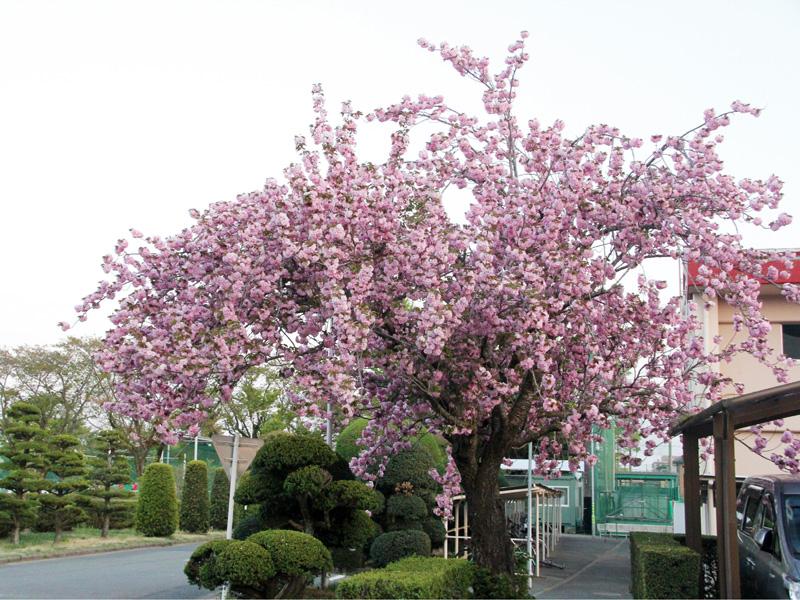駐輪場脇の八重桜