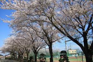正門通路桜
